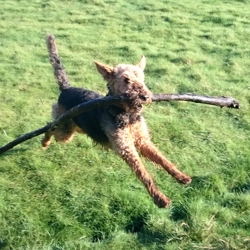 Airedale with stick Lancashire coast