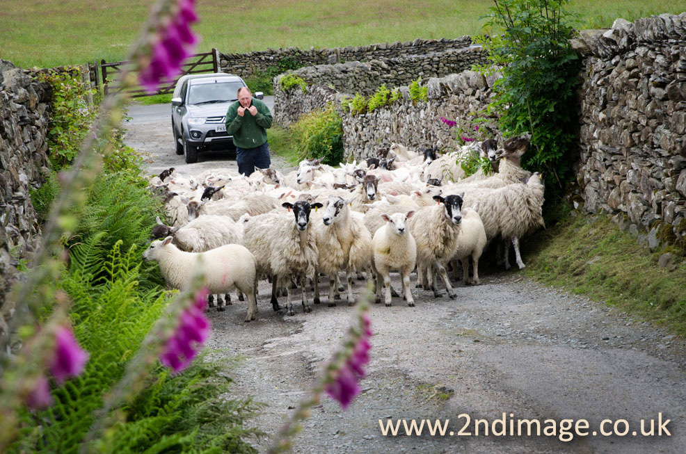 Cumbria sheep by 2nd Image photography